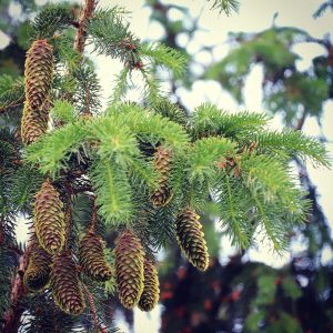 norway spruce pinecones